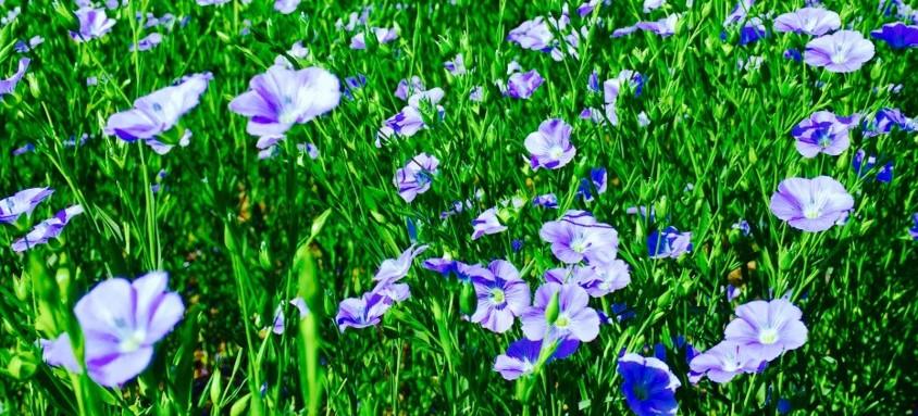 Blumer Flax