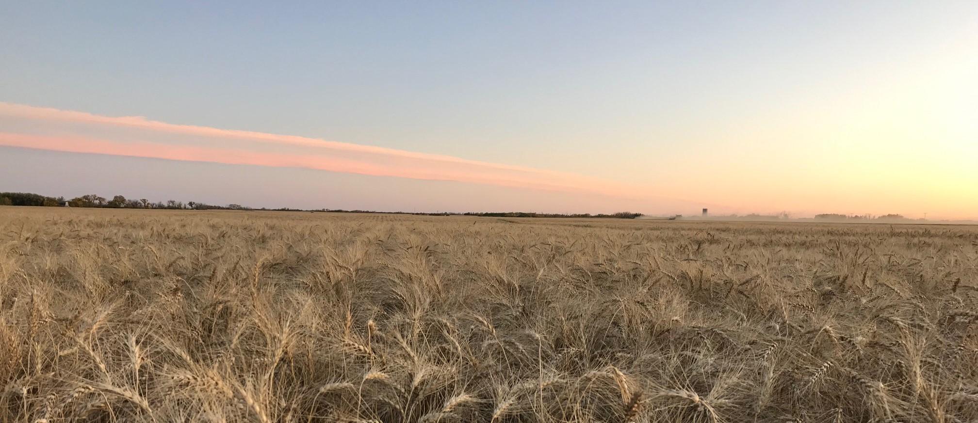 Blumer Wheat